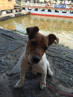 Beer in the Prague with Jack Russell Charlie
