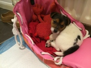 Jack Russell 8 weeks puppy