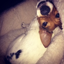 Jack Russell Charlie chillin'