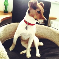 Jack Russell Charlie cool