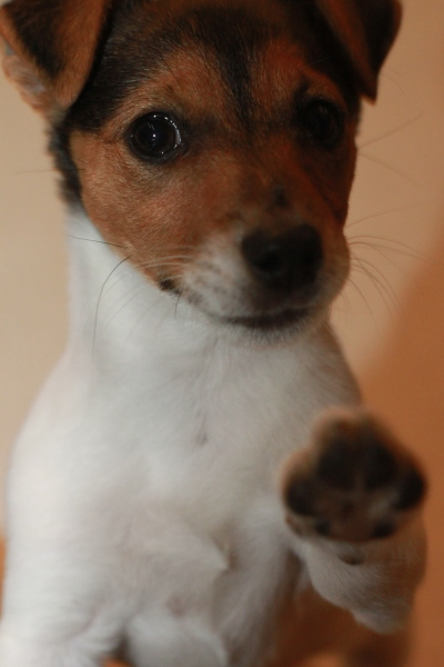 Jack Russell Charlie High Five