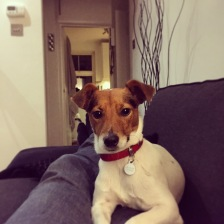 Jack Russell Charlie on the sofa