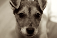 Jack Russell Charlie puppy