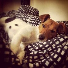 Jack Russell Charlie relax