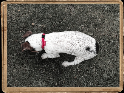 Jack Russell Diggin' in the park