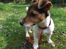 Jack Russell puppy Richmond Park