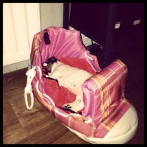 Jack Russell puppy sleeping in the shoe