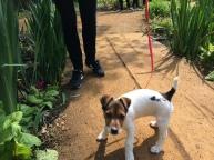 Jack Russell puppy spring Richmond Park