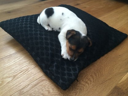 Jack Russell puppy sleeping