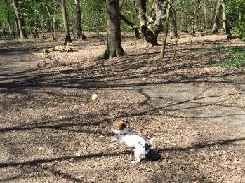 Jack Russell Terrier Charlie