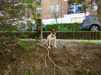 Jack Russell terrier by the river
