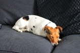Jack Russell shedding everywhere