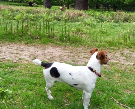 Deer Search Jack Russell