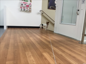 Jack Russell At the Vet