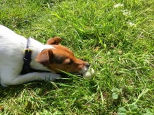 Jack Russell found egg