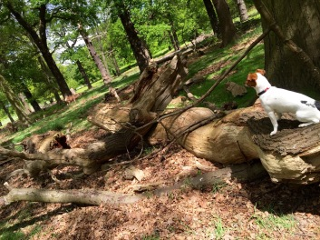 Jack Russell sitting on the branch