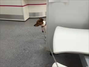 Jack Russell hiding at the vet