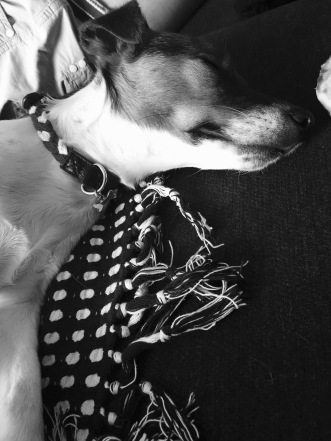 Jack Russell afternoon nap