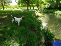 Richmond Park River Jack Russell