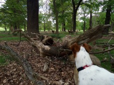 Watching deer Jack Russell