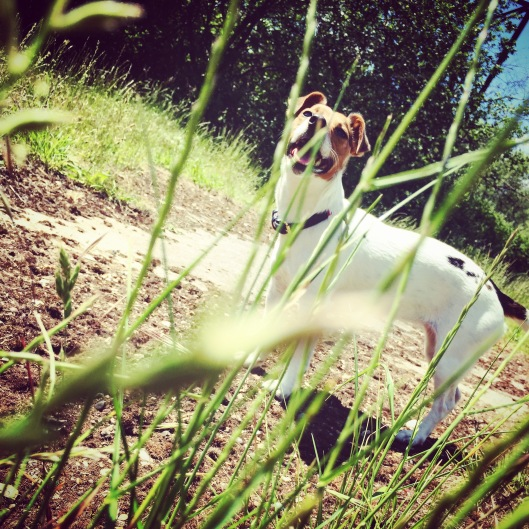 Jack Russell Charlie summer day